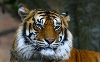Обои на телефон релакс, тигр, приятные, новый, лучшие, крутые, животные