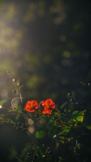 Обои на телефон птицы, цветы, фиолетовые, утро, сердце, пастельные, осень, листья, бабочки, morning glory