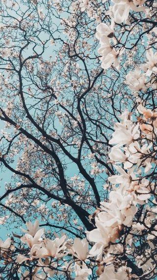 Обои на телефон вишня, цветы, солнце, синие, красые, деревья, дерево, белые, white flowers, hd