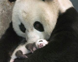 Обои на телефон панда, приятные, животные