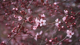 Обои на телефон вишня, цветы, цвести, ультра, красые, red cherry ultra hd, red cherry blossom, flower uhd, flores uhd