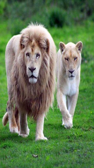 Обои на телефон семья, лев, король, lion family, land