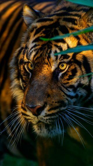 Обои на телефон хищник, тигр, взгляд