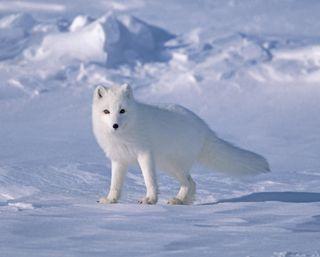 Обои на телефон лиса, снег, волк, белые, white fox, arctic