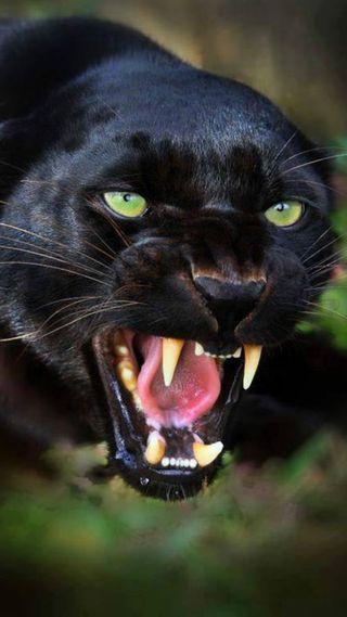 Обои на телефон черные, пантера, животные, hd