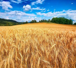 Обои на телефон пшеница, поле, макбук, hd wheat field