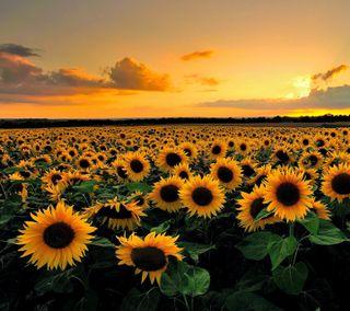 Обои на телефон подсолнухи, поле, sunflower field