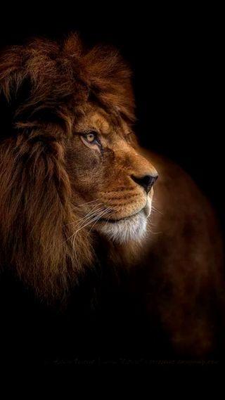 Обои на телефон лицо, лев, король, животные, дикие