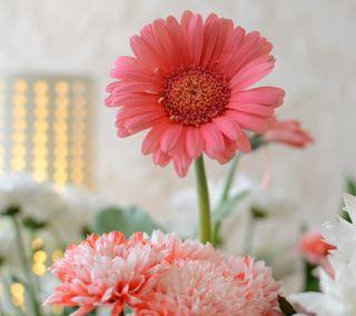 Обои на телефон pink flower, розовые, цветы, белые, маргаритка