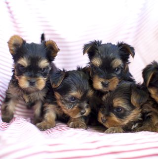 Обои на телефон щенки, собаки, молодой, young dogs, yorks