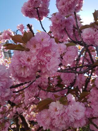 Обои на телефон вишня, цветы, расцветает, весна, cherry blossoms