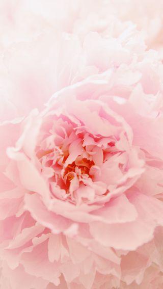 Обои на телефон мягкие, цветы, цветение, фото, розовые, природа, мой, маленький, красота, peony, my little peony, hd