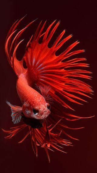Обои на телефон чемпион, рыба, champion fish 6s-8, 6s