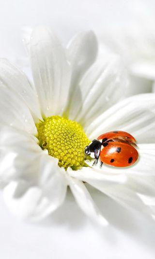 Обои на телефон маргаритка, цветы, весна, божья коровка, delicate, chamomile