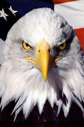 Обои на телефон сша, прайд, орел, независимость, американские, америка, usa, us, glag