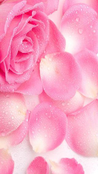 Обои на телефон лепестки, розы, розовые, любовь, капли, вода, love