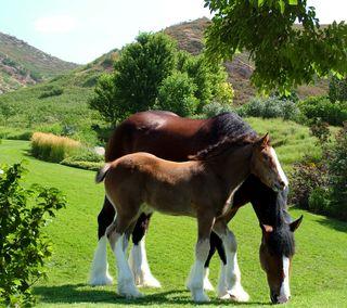 Обои на телефон фото, лошади, clydesdales, clydesdale
