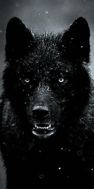 Обои на телефон собаки, черные, дождь, волк