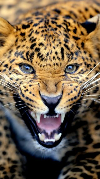 Обои на телефон леопард, тигр, рык, лев, дикие, джунгли, горы