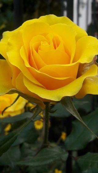 Обои на телефон желтые, цветы, розы, природа