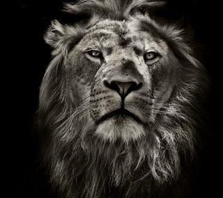 Обои на телефон рык, мастер, джунгли, лев, король, the lion, roar master, king of the jungle