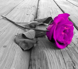 Обои на телефон романтика, цветы, фиолетовые, розы, приятные, природа, новый, любовь, естественные, purple rose, love