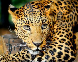 Обои на телефон леопард, милые, животные