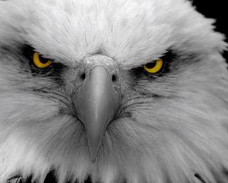Обои на телефон птицы, орел, глаза