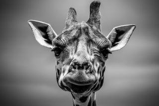 Обои на телефон природа, животные, черно белые, жираф