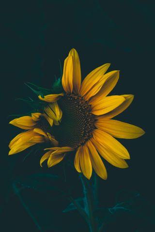 Обои на телефон чилл, фотография, цветы, природа, подсолнухи, австралия, xerishyag, moody