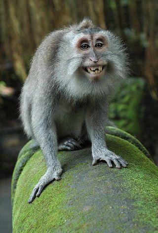 Обои на телефон обезьяны, лицо